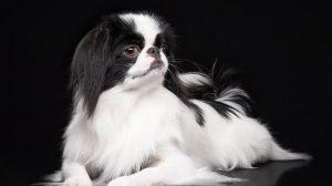 Fotos de cachorros da raça Spaniel Japonês