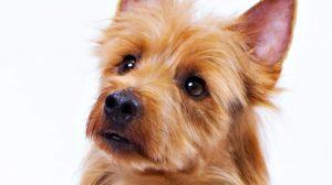 Fotos Terrier Australiano