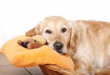 Gravidez psicológica canina