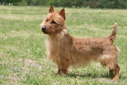 Imagem Terrier Australiano