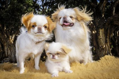 Spaniel Japonês família