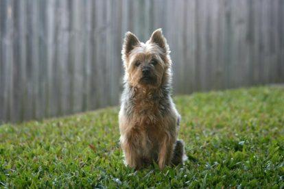Terrier Australiano sentado