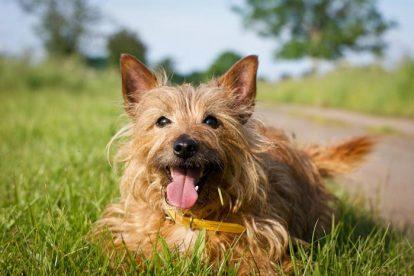 Terrier Australiano sorrindo