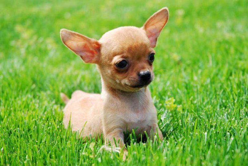 Chihuahua-Puppies