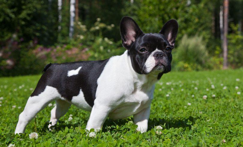 Cachorros para pessoas idosas - Bulldog Francês