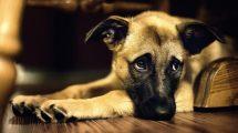 Anemia canina
