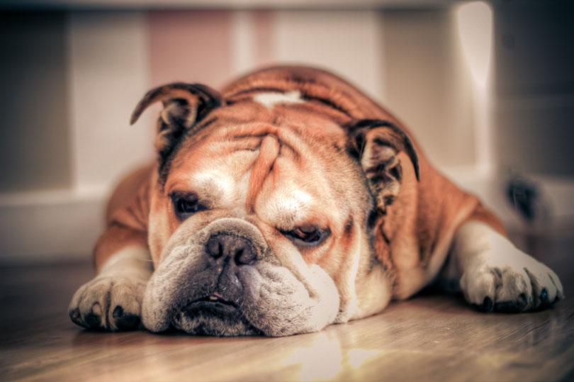 Cachorro idoso com mau cheiro: Saiba as causas e soluções
