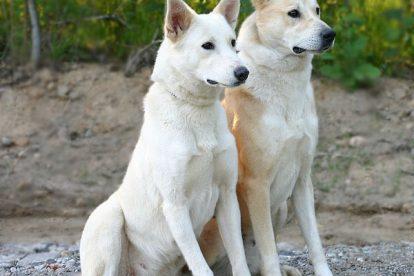 Cachorros Cão de Canaã