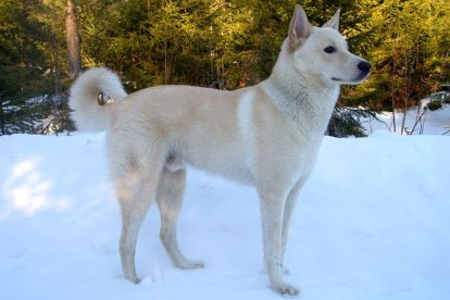 Cão de Canaã na neve