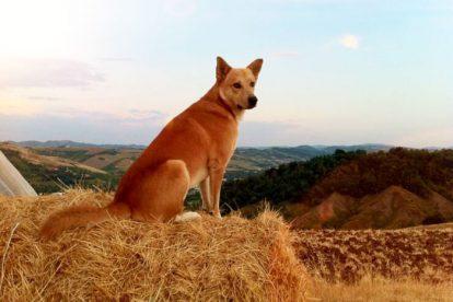 Cão de Canaã sentado