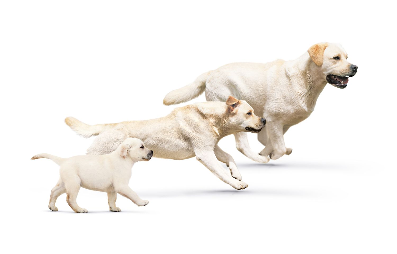 Ciclo de vida dos cachorros