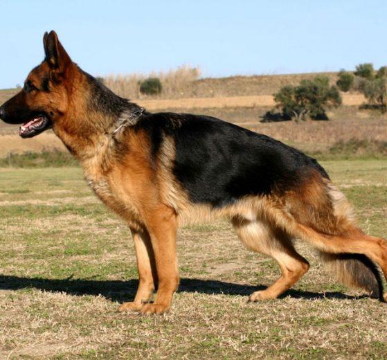 Displasia coxofemoral em cachorros: Causas, sintomas e tratamento