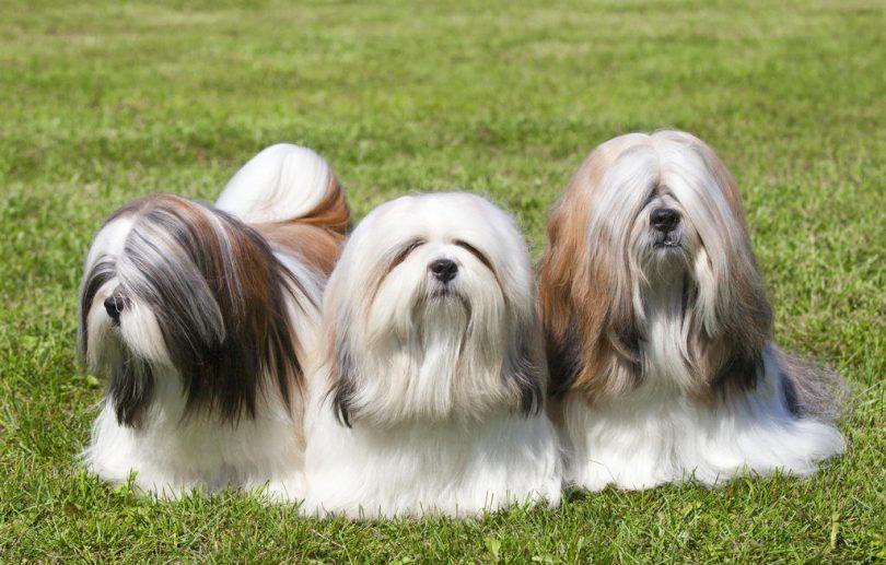 dog-lhasa-apso