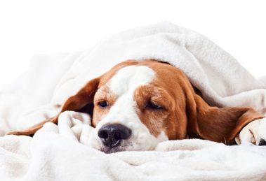 Envenenamento-de cachorros primeiros socorros