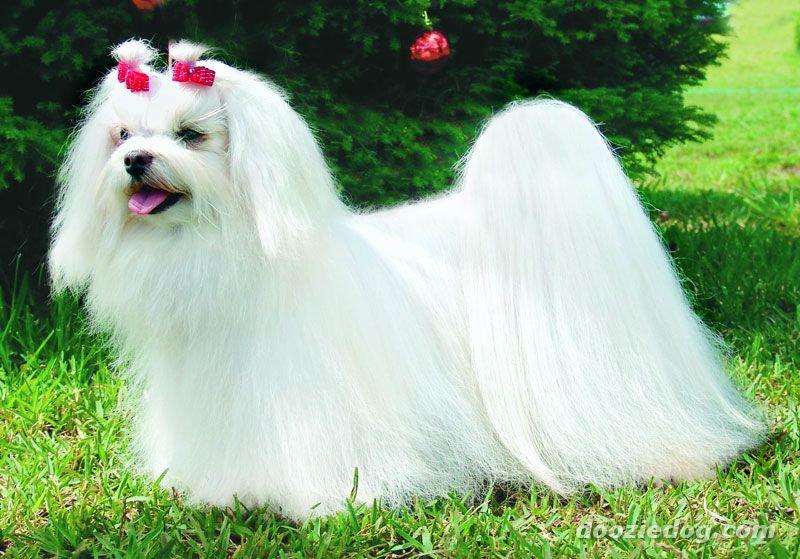 maltes-cachorro