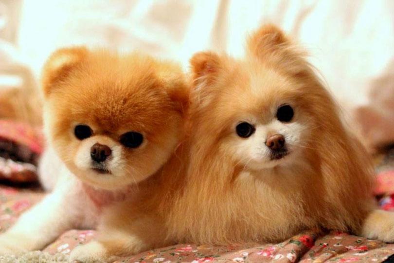 Spitz Alemão Anão: Lulu da Pomerânia - Melhoramigo.dog