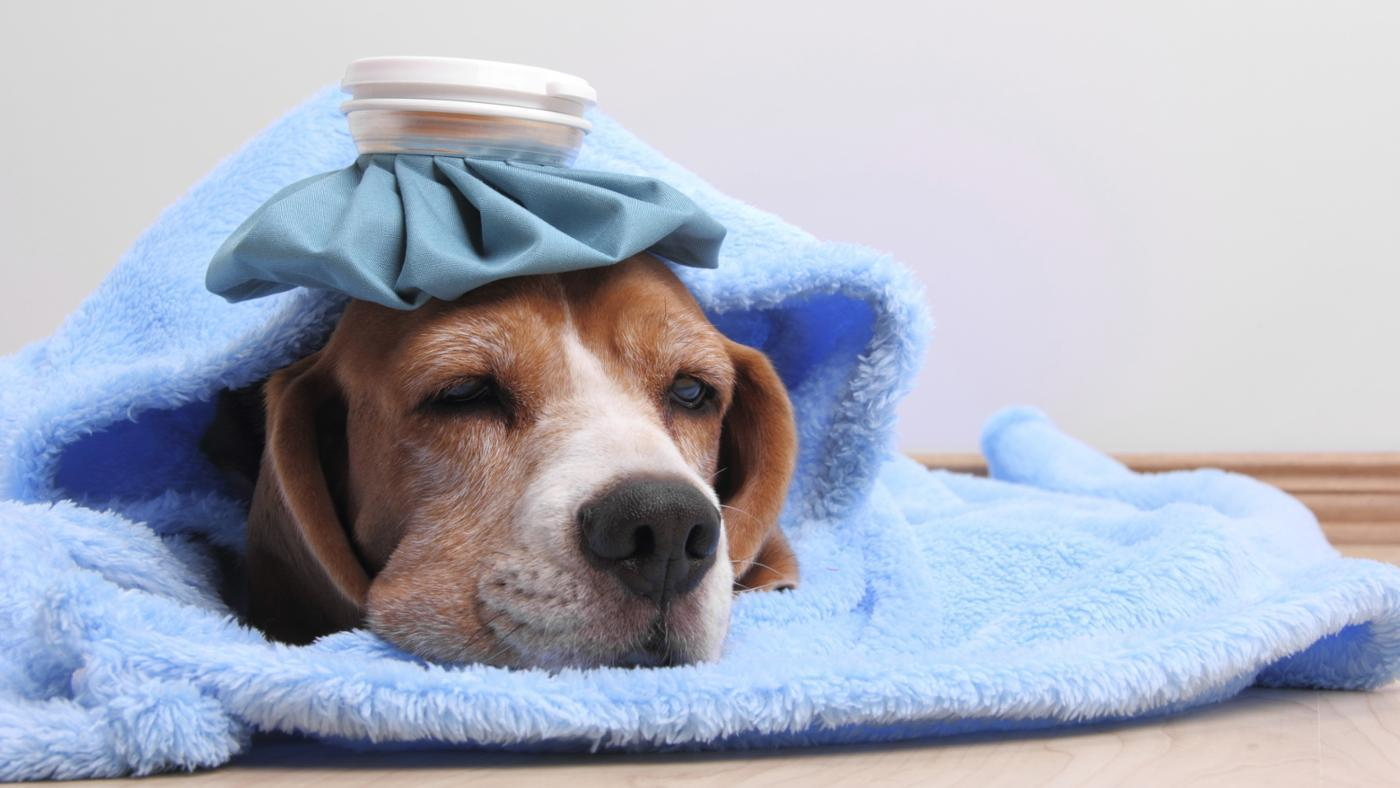 Tuberculose canina