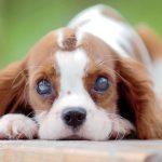 cachorro-com-olho-branco