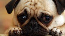 Osteomelite em cães