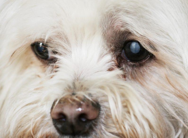 esclerose-nuclear-canina