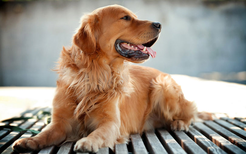Golden Retriever foto