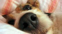 Síndrome da disfunção cognitiva canina