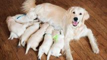 Gestação cachorro