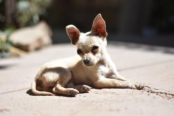 Úlcera de córnea em cães