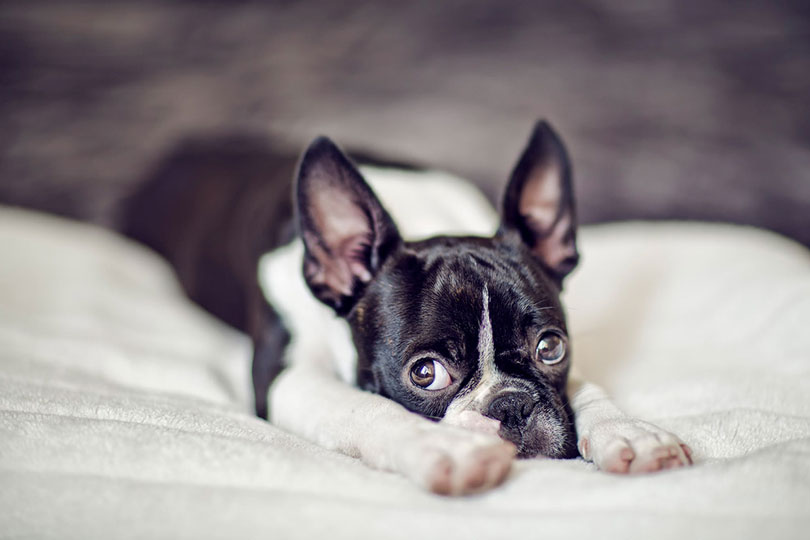 Boston Terrier cachorro
