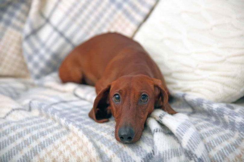 Dachshund cachorro