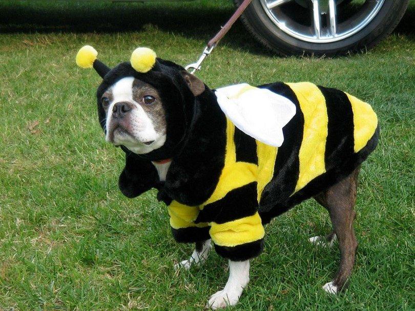 Fantasia cachorro abelha