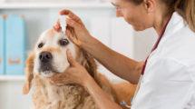 Glaucoma em cachorros