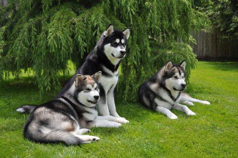 Malamute do Alasca cachorros