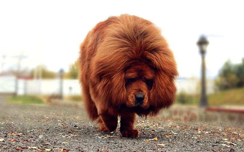 Mastim Tibetano Cachorro