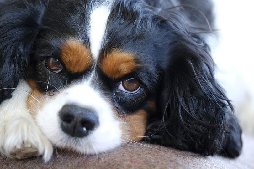 Raças de cachorro mais calmas