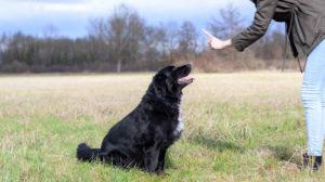 Raças de cachorro mais teimosas
