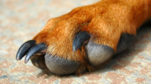 Unhas encravadas em cachorro